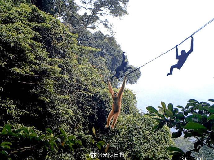 人造绳桥对海南长臂猿有帮助吗?