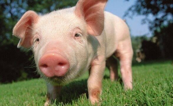 有肉吃!猪肉价格连续7周回落 明年春节不会出现大幅上涨