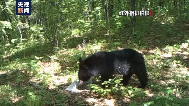 恒达首页小兴安岭首次找到东北虎吃熊珍贵影像证据,现场留有虎的卧迹 (图17)
