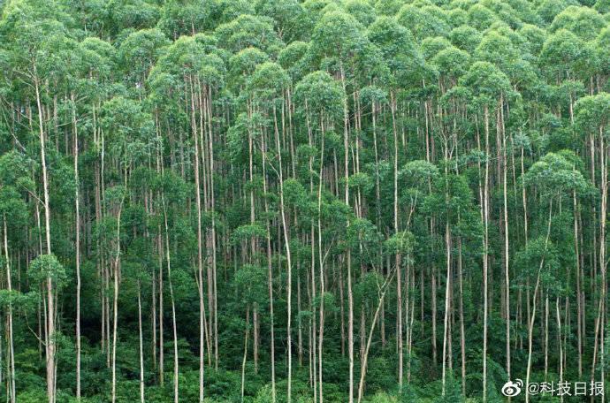 """被称为""""断子绝孙树""""的桉树,真的有毒吗?"""