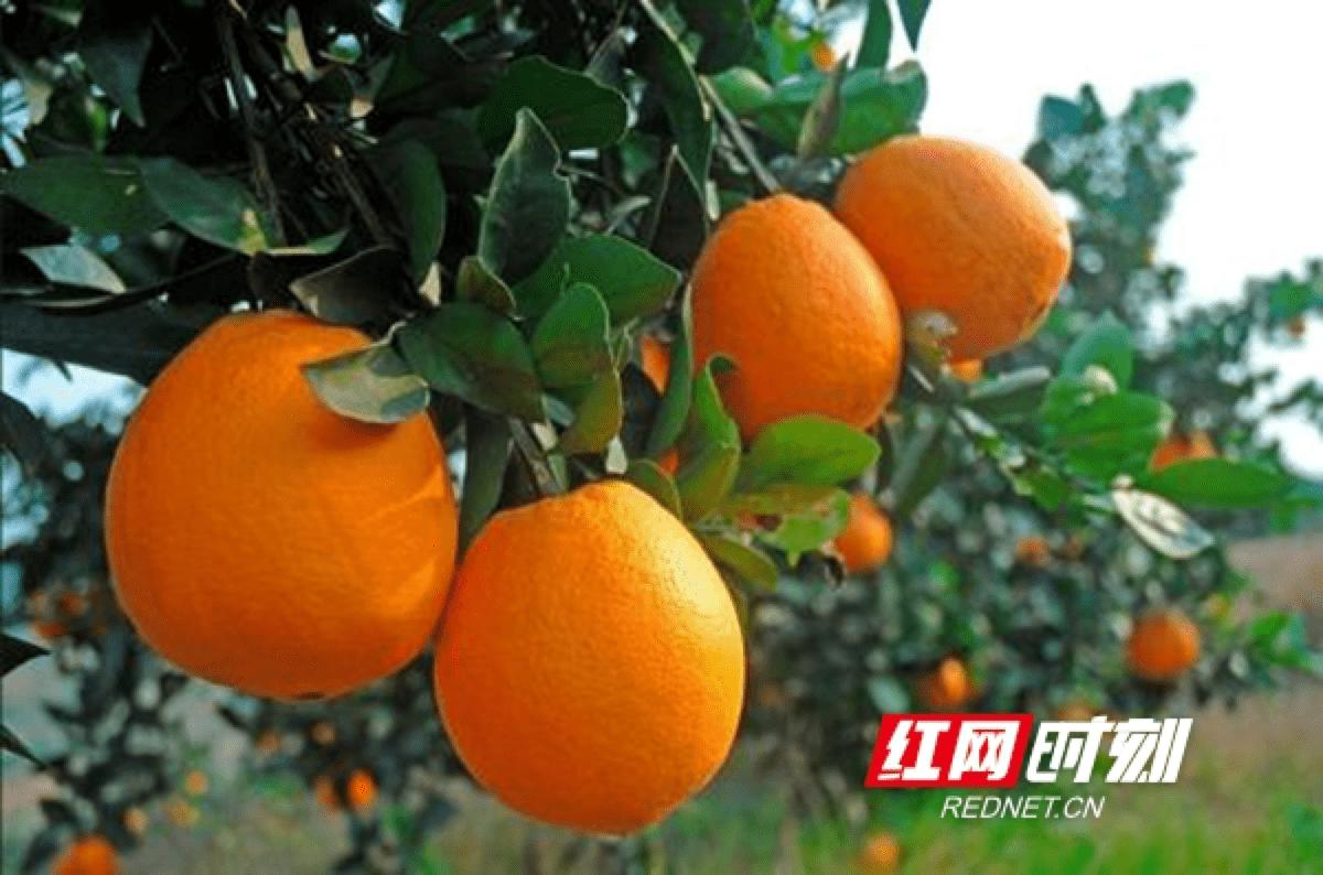 吃脐橙的时节又到啦!崀山第六届脐橙文化旅游节来了