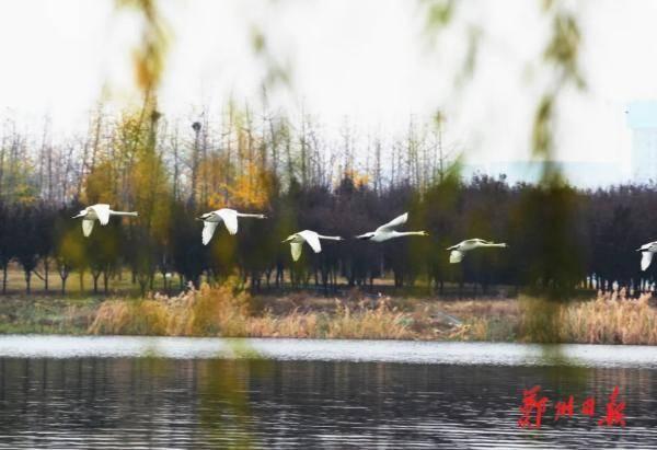 高清图集|郑州北龙湖6只天鹅宝宝半岁啦!