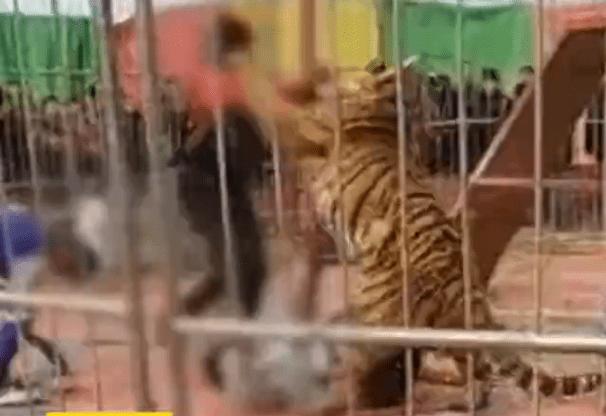 警方回应马戏团老虎失控咬人