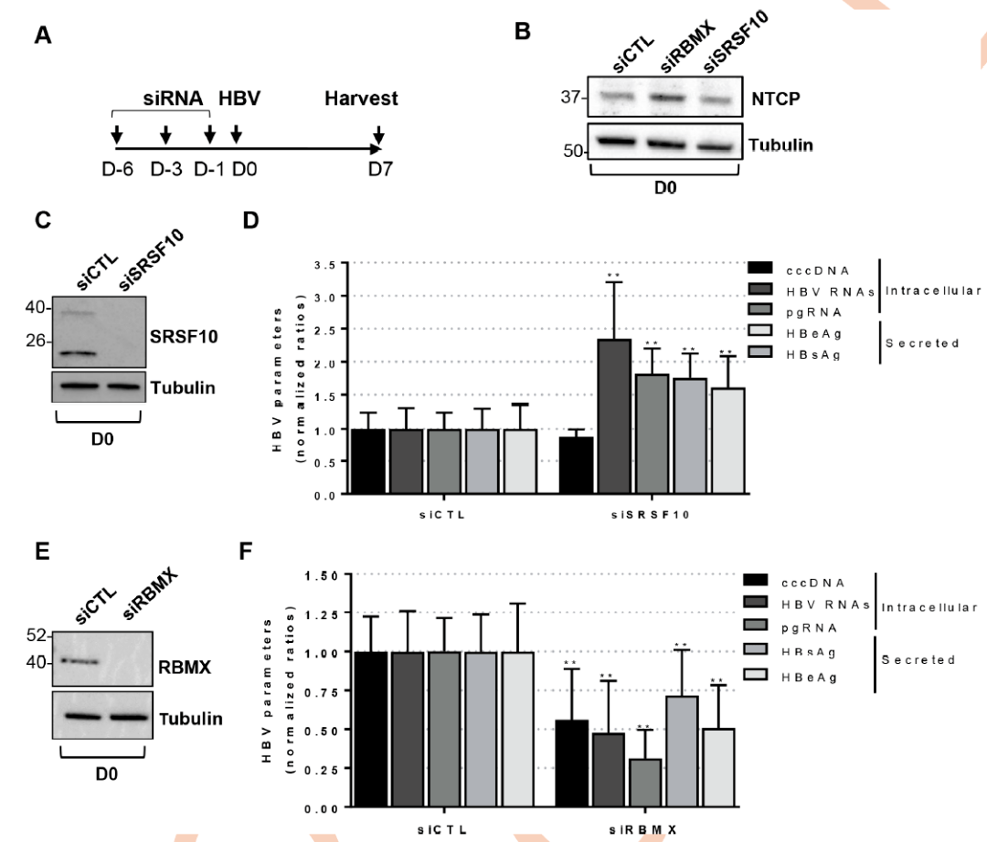乙肝病毒core蛋白与宿主RNA结合蛋白SRSF10互作抑制HBV RNA产生