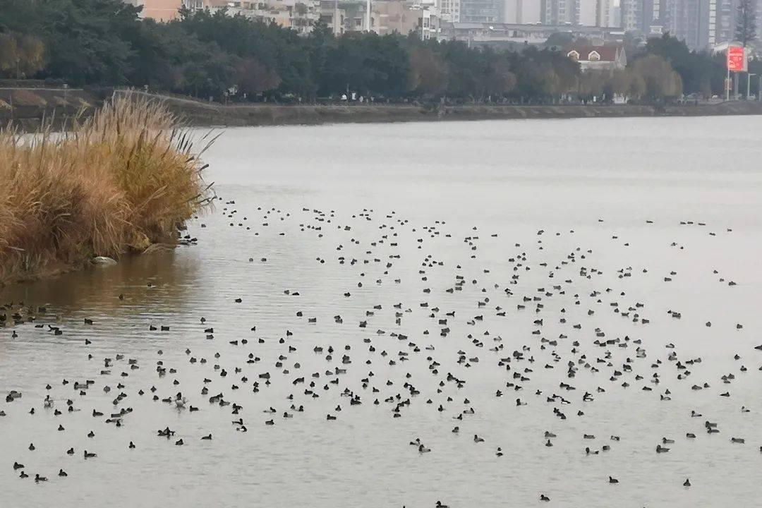 今年新增6种水鸟在成都平原过冬!