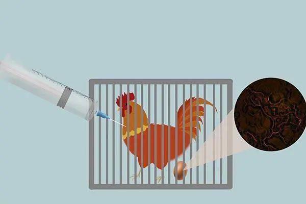 42天就出栏的速成鸡,都是打激素催熟的?能不能吃?告诉你真相_鸡屁股
