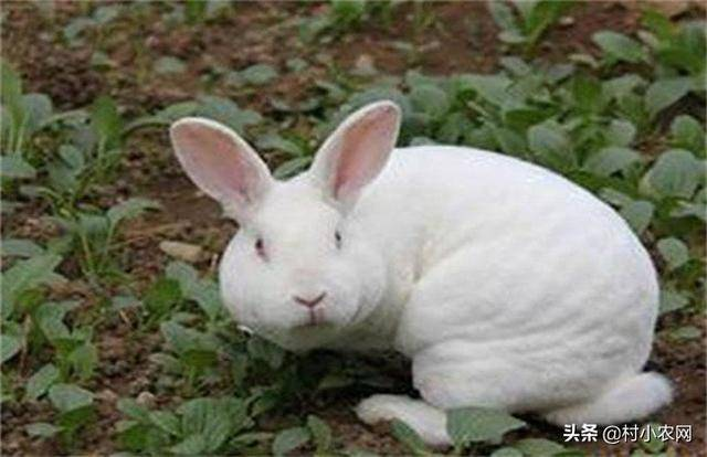 农村养什么兔子赚钱(养兔子要注意什么)