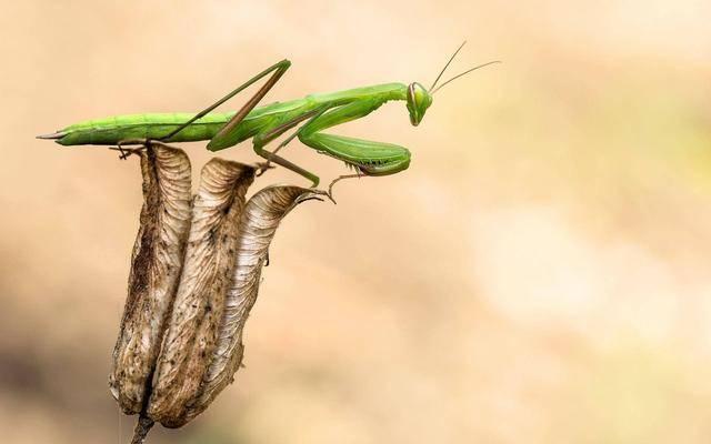 螳螂为什么吃自己配偶(螳螂为什么会吃雄螳螂)