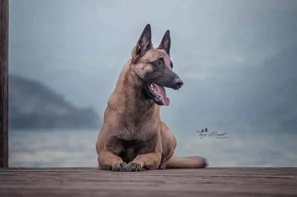 浅谈血统书在选择种犬中的作用