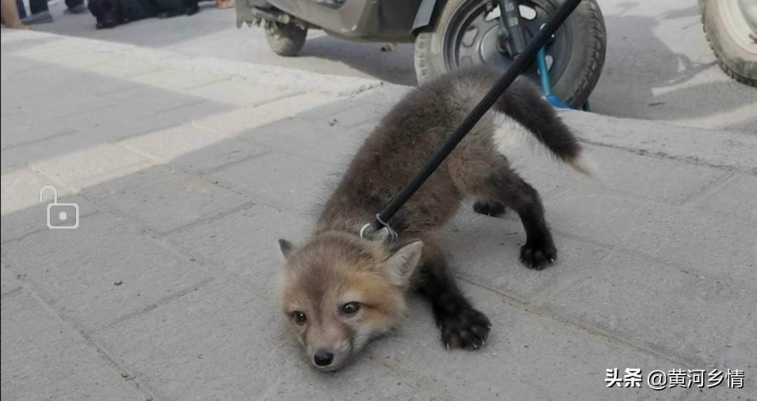 狐狸认主人吗(狐狸可以家养吗)插图(4)
