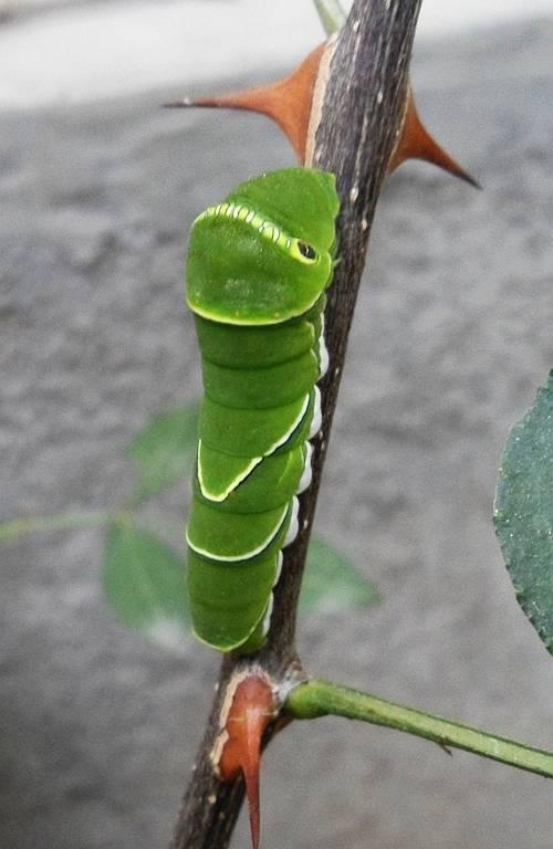 柑橘凤蝶幼虫有毒吗(柑橘凤蝶幼虫的危害有哪些)插图(1)