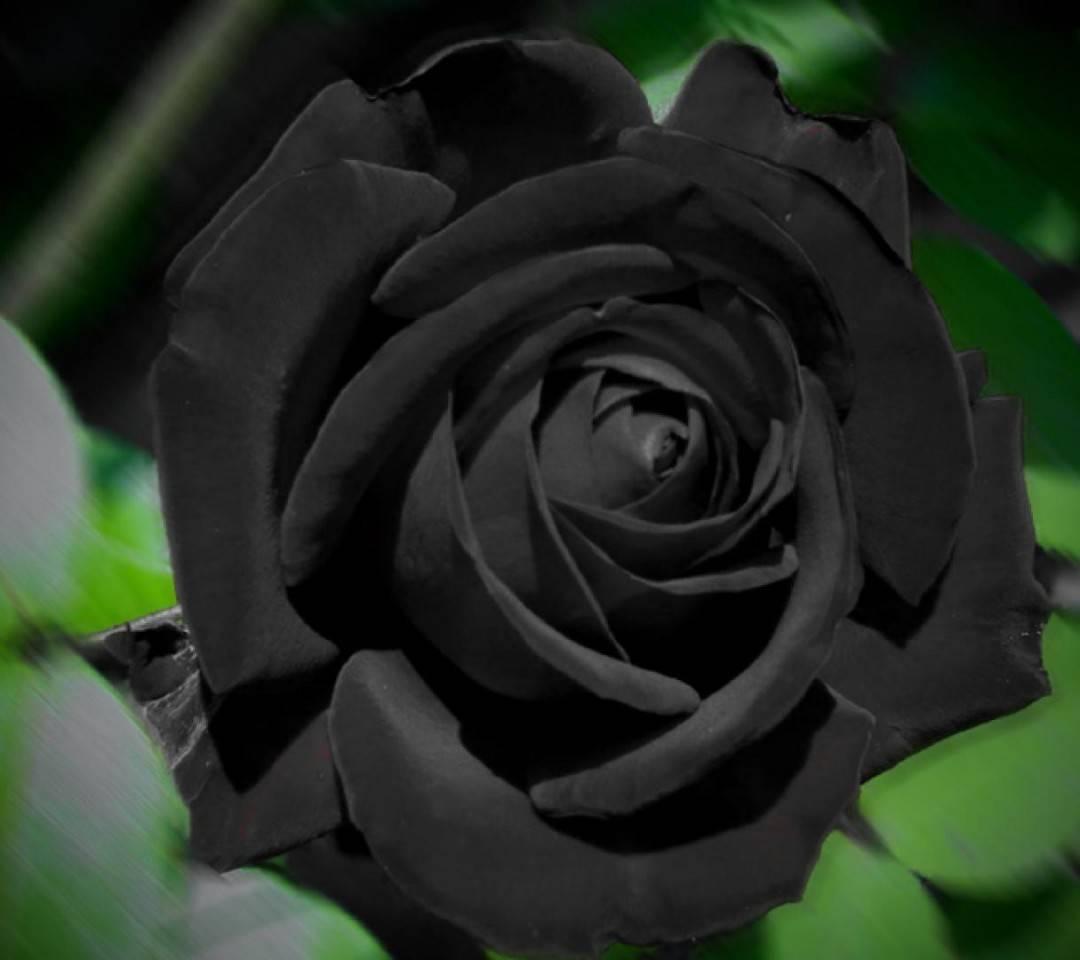 黑色玫瑰的花语是什么意思(黑玫瑰和白玫瑰分别代表什么)插图