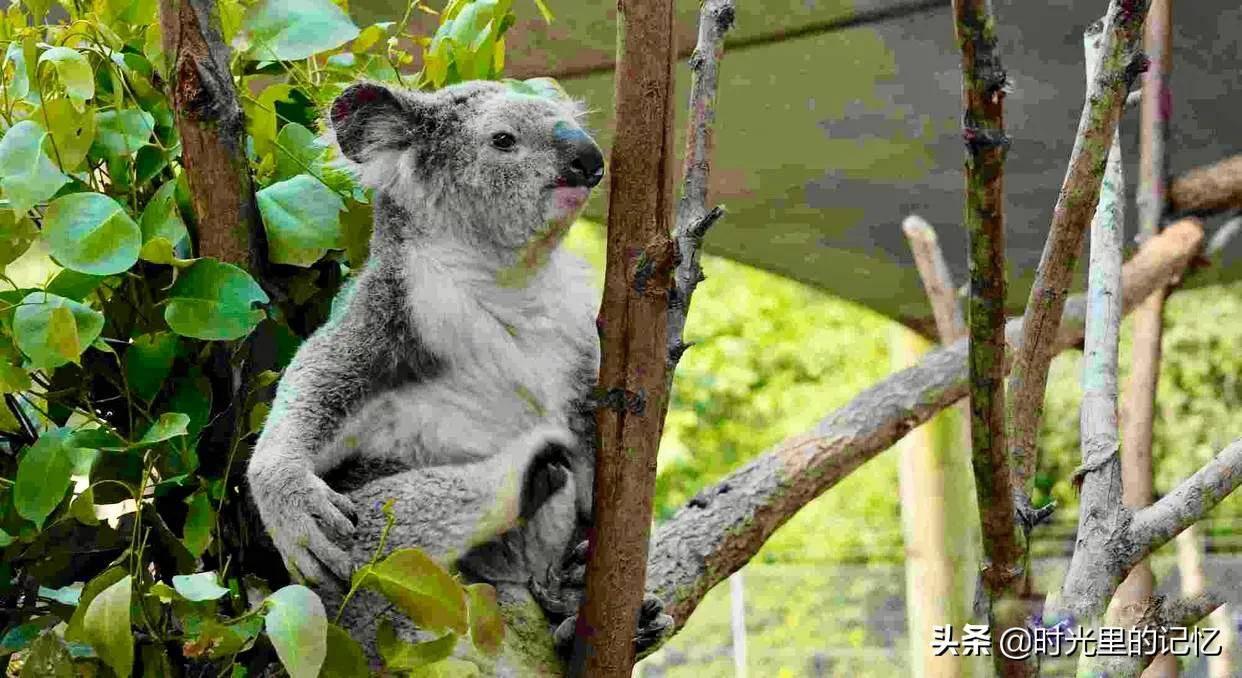 考拉是什么动物的别称(为何澳大利亚国徽不是考拉呢)插图