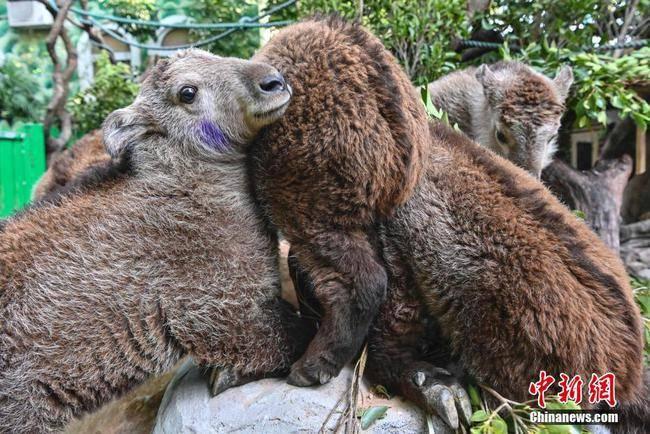 广州新生金毛羚牛宝宝体检过冬