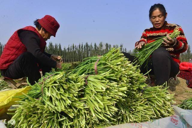 韭菜频繁出现农残超标,研究表示:用这2种办法能规避危险很简单