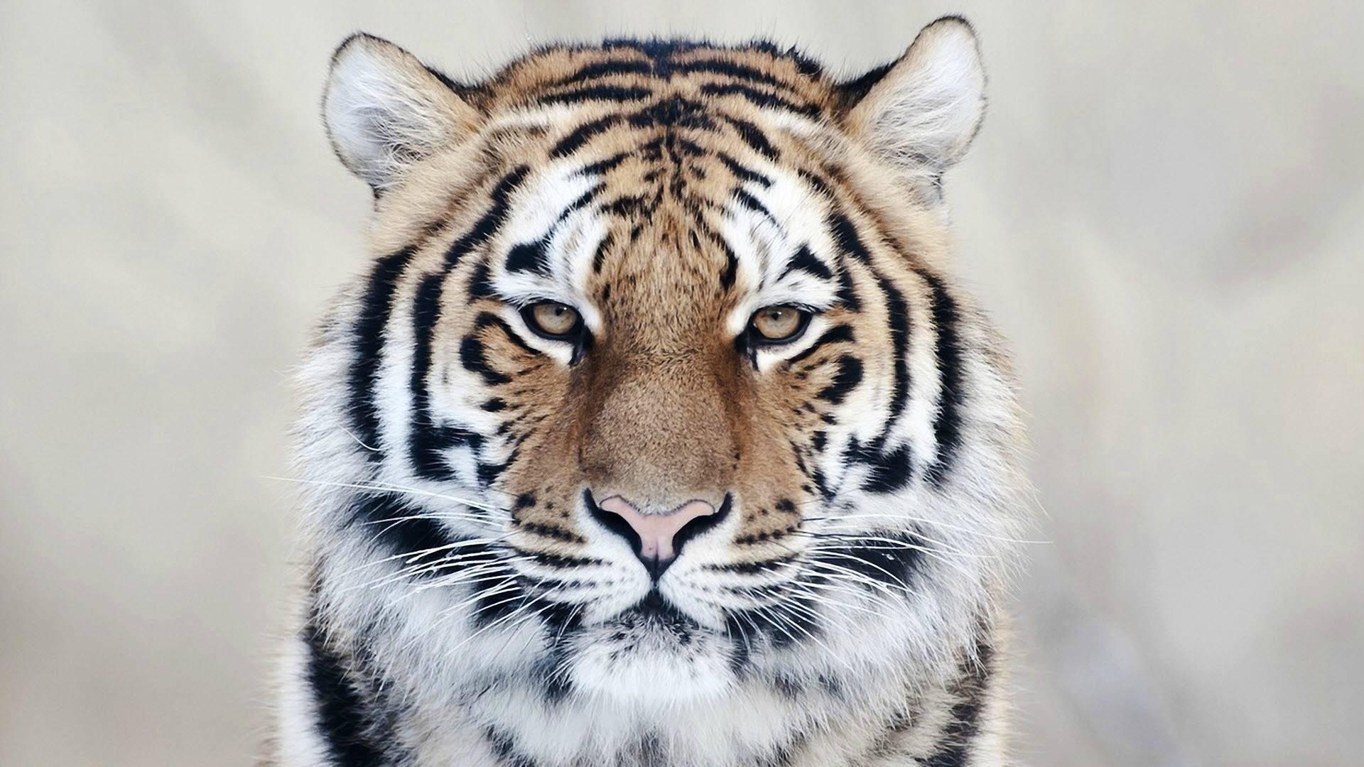 怀孕的人梦到老虎 梦见老虎怀的是女儿吗