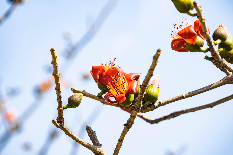 原创             春风十里木棉花,海南昌江2日赏花游,打卡3处网红赏花点
