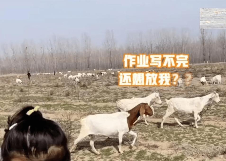 女儿不写作业想放羊,宝妈带她实现梦想,看到羊群后女孩崩溃了