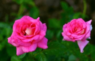 心理测试:选一朵玫瑰花,测你这辈子缺不缺钱花!