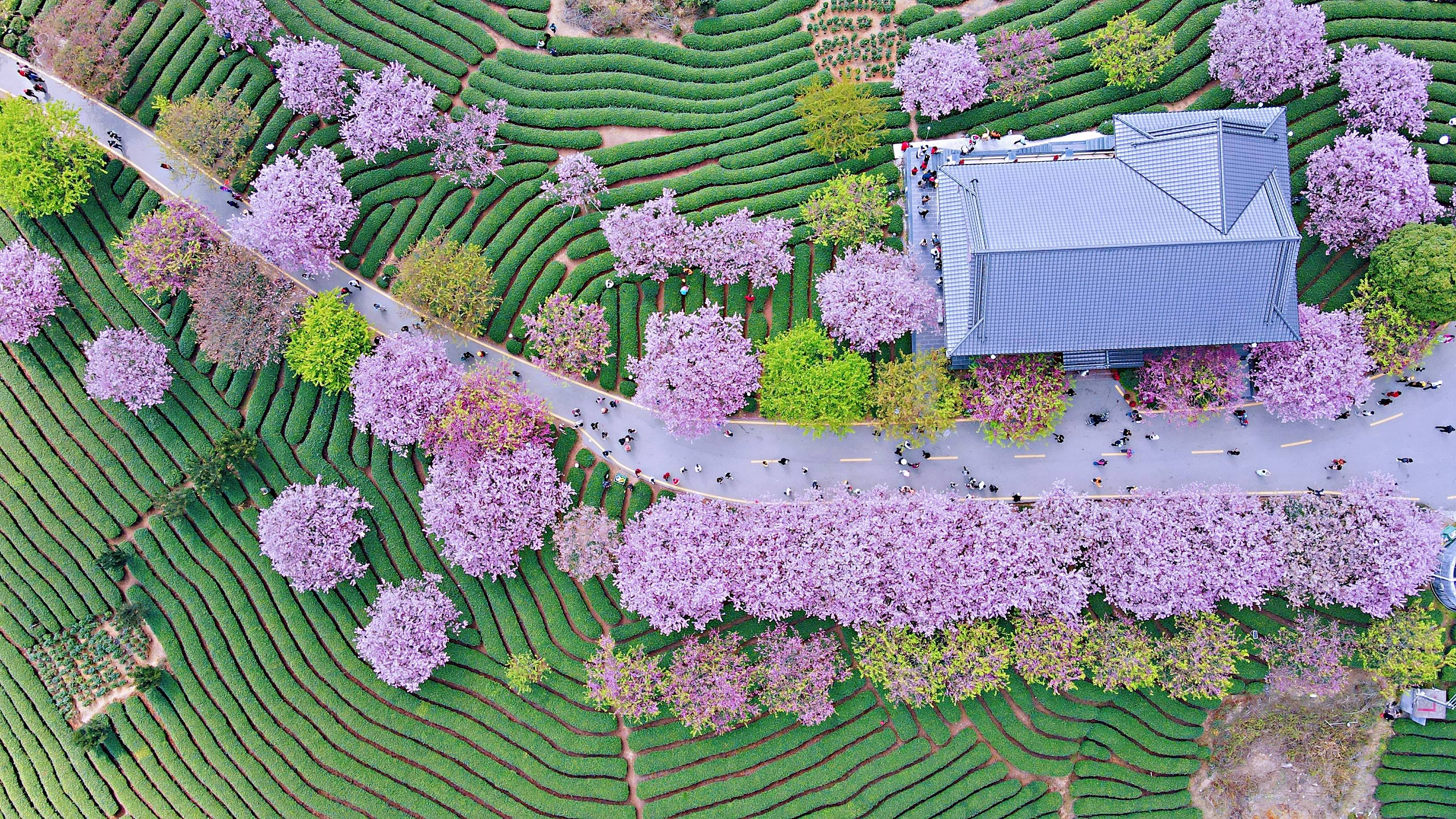 901ca752211f452187a4b45cff826c93 - A guide to viewing cherry blossoms in Fujian, China's most beautiful cherry blossom sacred land, Alishan on the mainland_台品- Sohu