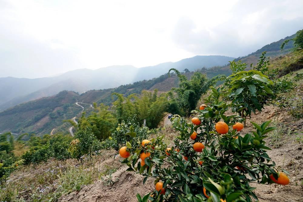 云南冬季产水果吗?枇杷沃柑和释迦,都是春节过后才最好吃的果子