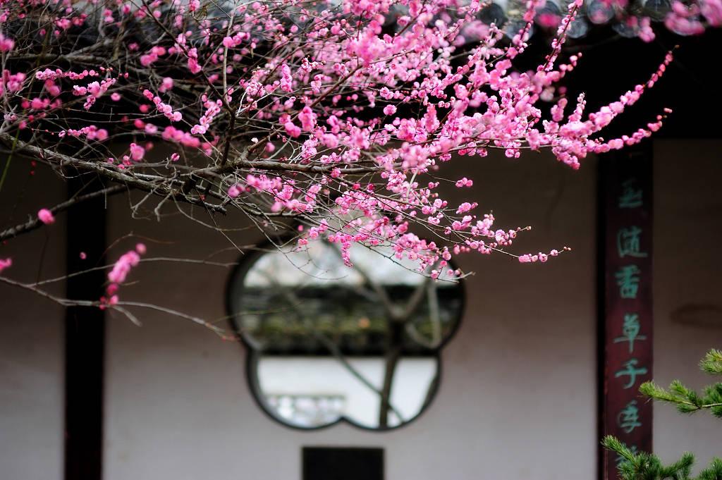 """""""赏梅第一胜地""""在南京,千余亩梅花竞相开放,你去看过了吗?"""