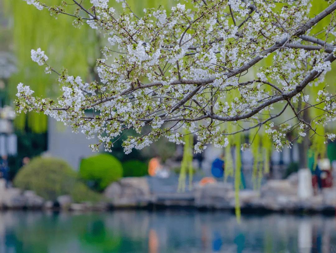 一种花,一首诗,济南这些常见的花你最爱哪种?