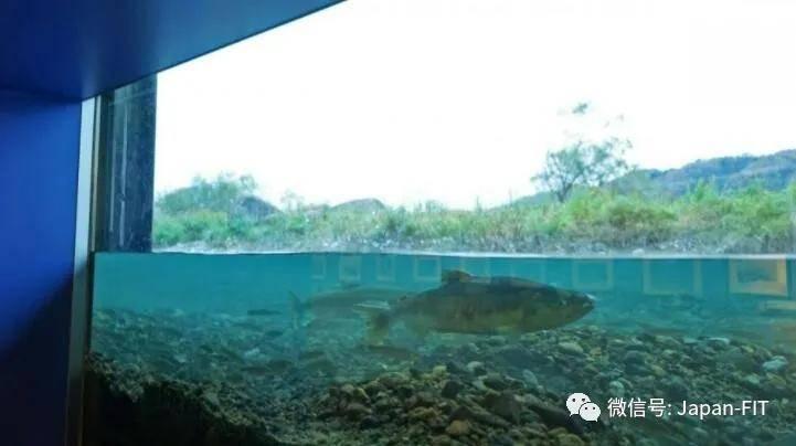 一条鱼,改变日本新潟一座城的命运