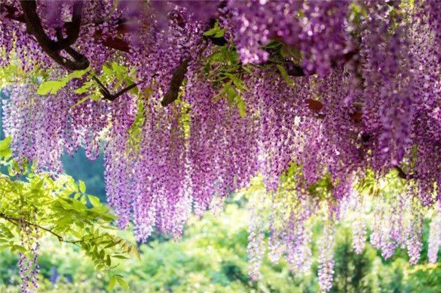 紫藤花下渐黄昏,白居易不喜欢紫藤花,却留下了经典的紫藤花诗