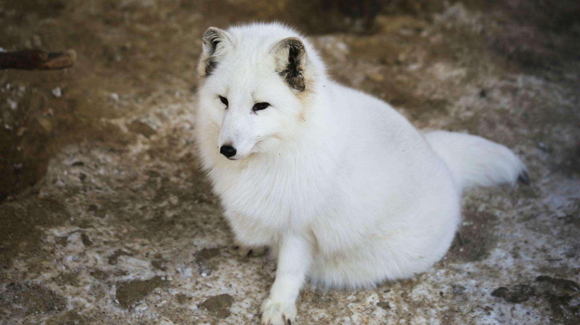 女人梦见一只白色狐狸 女人梦见白狐狸好不好
