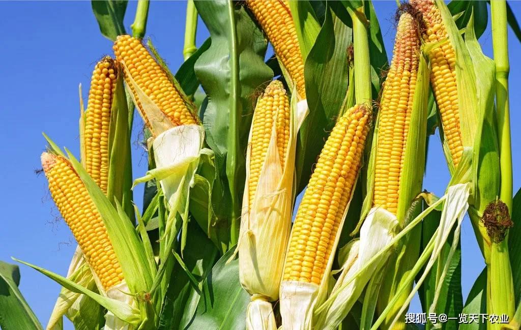 不了解玉米养分需求规律,追肥再多也没用!
