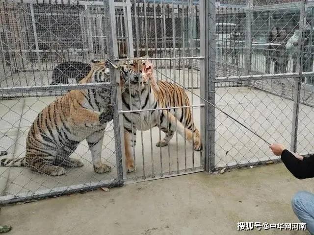 南阳淅川县回应击毙外逃老虎原因