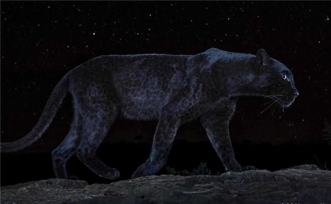 """豹子为什么要""""黑化""""?非洲黑豹照片的出现,使争论升级_黑色"""