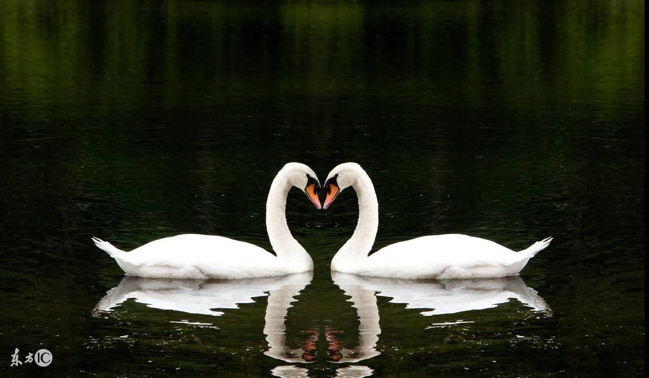 梦见天鹅下蛋孵化成 梦见白天鹅孵化天鹅蛋