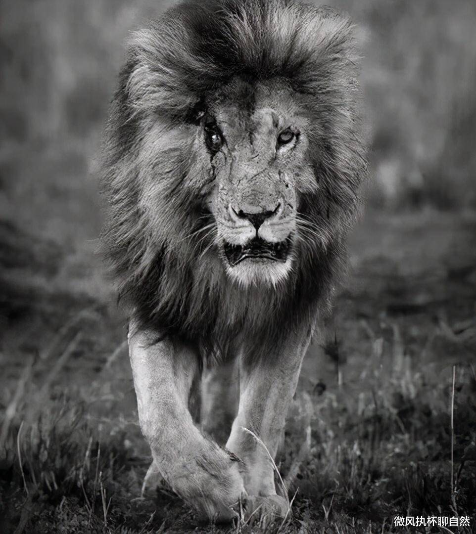 入侵雄狮挑战领地狮王 入侵狮王大战狮王