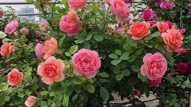 耐晒还勤花的8款月季,夏天再热也不怕,照样开出漂亮的花