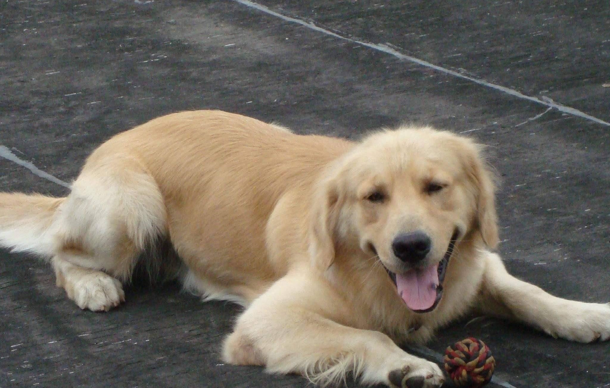 因为这4个原因,即使是乖巧温顺的金毛犬,饲养它的人也越来越少了
