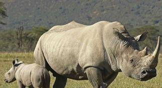 鬣狗想要偷襲小犀牛, 犀牛媽媽站了出來, 鬣狗卻仍不依不饒
