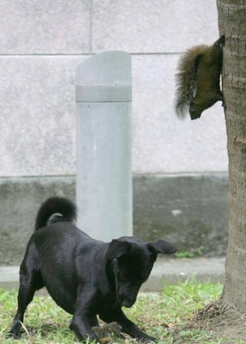 黑狗企圖將松鼠幼崽據為己有, 母松鼠一撲騰將狗狗趕跑