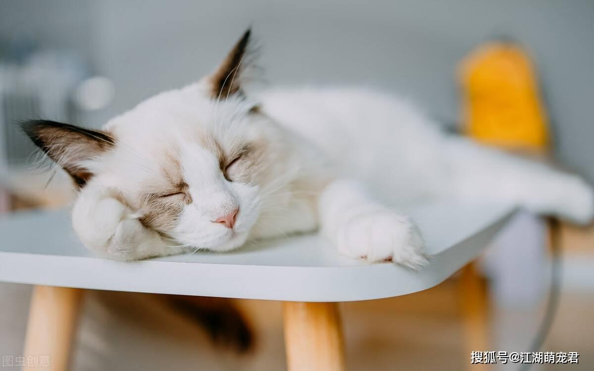 布偶猫有这几种睡姿,那就要恭喜你了,它性格