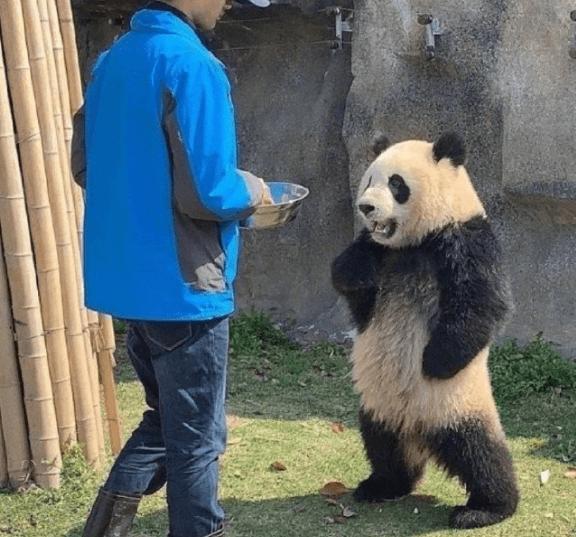 网友吐槽熊猫形似明日香,之前还说人家像JOJO的承太郎呢