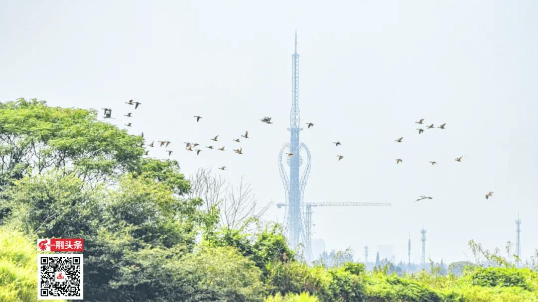长湖鸟类资源调查:斑嘴鸭、绿头鸭,已在荆州大规模繁殖