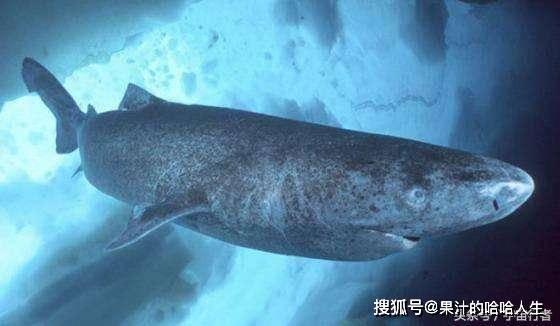 小虾虎鱼的寿命有多短?科学家:从出生到死亡,只需要两个月