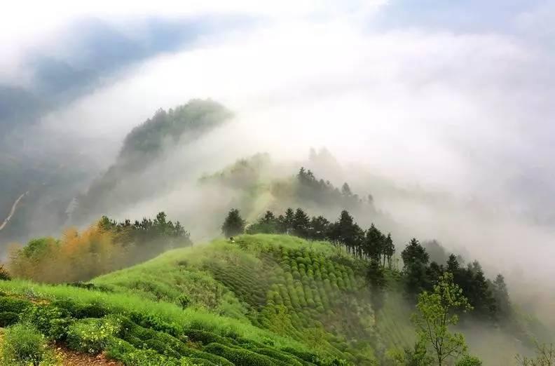 """关于""""高山云雾出好茶""""之说,你理解的可能是错误的。"""