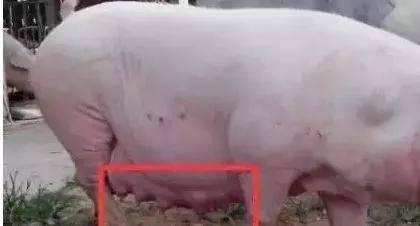 养殖知识——母猪假怀孕的原因分析 晨源生物