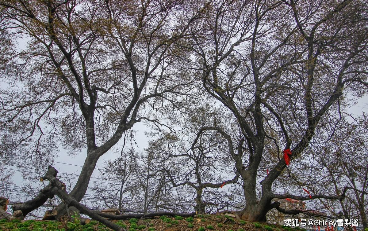 """全球独一无二!河南这棵2700年的""""光棍树"""",可比大熊猫还要珍贵"""