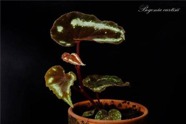 《【天游注册地址】一丛浅淡一丛浓 上海植物园特色秋海棠展开幕》