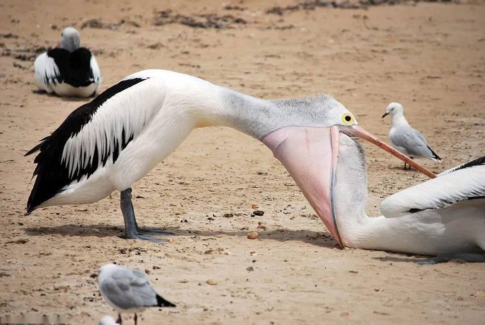 鹈(tí)鹕(hú)这种大鸟,可能是最喜好吃的鸟类