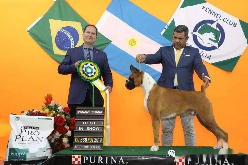 名犬排行榜小型犬_神奇男孩,拳师犬inca喜获年度犬种排行一