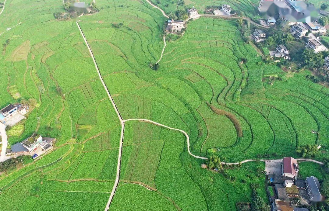 """160万吨青菜头进入收砍季,打望""""中国榨菜第一村"""""""